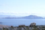 clare-island-sheep
