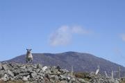 slievemore-sheep